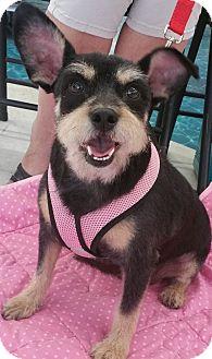 Schnauzer (Miniature)/Cairn Terrier Mix Dog for adoption in Phoenix, Arizona - Mia