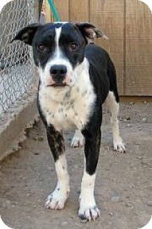 American Pit Bull Terrier Mix Dog for adoption in Ruidoso, New Mexico - Starla