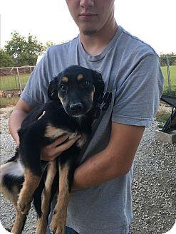 Australian Shepherd/Shepherd (Unknown Type) Mix Dog for adoption in Parker, Kansas - ELF