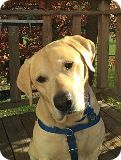 Labrador Retriever Dog for adoption in Warrington, Pennsylvania - Max