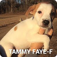 Adopt A Pet :: Tammy Faye - Albany, NY