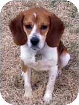 Beagle Puppy for adoption in Pittsburgh, Pennsylvania - Verona