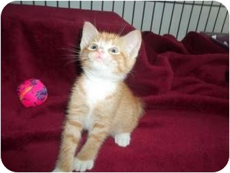 American Shorthair Kitten for adoption in Little Neck, New York - squirty magurty