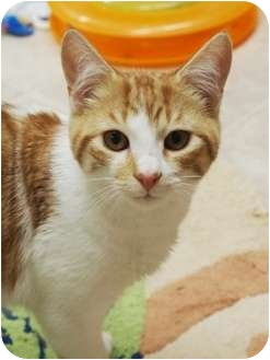 Domestic Shorthair Cat for adoption in Ocean City, New Jersey - Jack