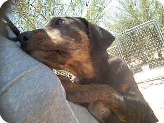 Black and Tan Coonhound/Labrador Retriever Mix Dog for adoption in Thatcher, Arizona - Rufus