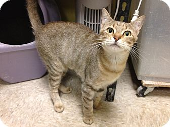 Abyssinian Cat for adoption in Fort Lauderdale, Florida - Simone