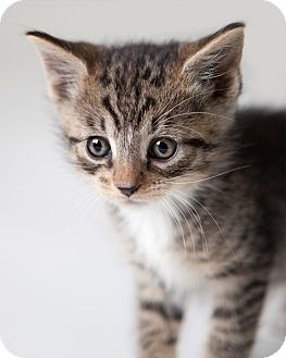 Domestic Shorthair Kitten for adoption in Rockaway, New Jersey - Binks