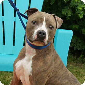 American Pit Bull Terrier Dog for adoption in River Falls, Wisconsin - Jock