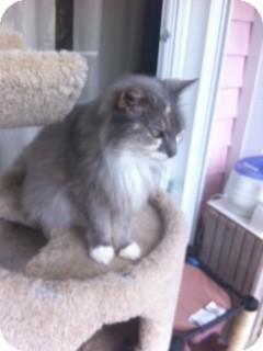 Domestic Longhair Cat for adoption in Key Largo, Florida - Olivia