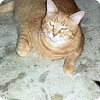 Domestic Shorthair Cat for adoption in Houston, Texas - Luke