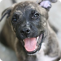 Adopt A Pet :: Shepherd mix Puppies! - Canoga Park, CA