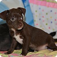 Adopt A Pet :: Charm - Tumwater, WA