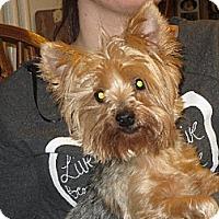 Adopt A Pet :: Abbie Yorkie - Greenville, RI