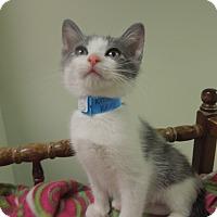 Adopt A Pet :: Pancake - Medina, OH