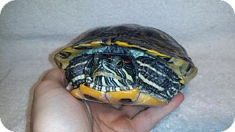 Turtle - Other for adoption in Markham, Ontario - Cass