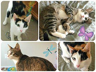 Domestic Shorthair Cat for adoption in Lancaster, California - Audrey