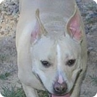 Labrador Retriever/Pit Bull Terrier Mix Dog for adoption in Colonial Heights, Virginia - Libby