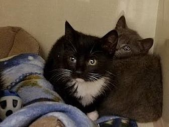 Domestic Shorthair Kitten for adoption in Westbury, New York - Bonnie 2