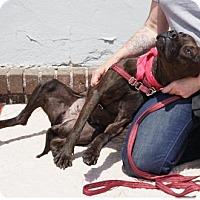 Adopt A Pet :: Pepper - Mt Vernon, NY