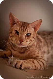 Ocicat Cat for adoption in Los Angeles, California - Stewart