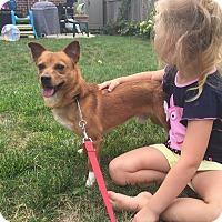 Chihuahua/Corgi Mix Dog for adoption in norridge, Illinois - Lucky