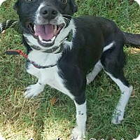 Adopt A Pet :: 384141 Tuvia - San Antonio, TX