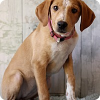 Adopt A Pet :: Kapri - Waldorf, MD