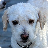 Poodle (Miniature) Dog for adoption in Antioch, California - Zayne