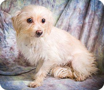 Maltese/Chihuahua Mix Dog for adoption in Anna, Illinois - PRISSY
