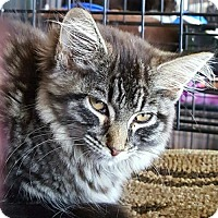Maine Coon Cat for adoption in Lyons, Illinois - Honesty
