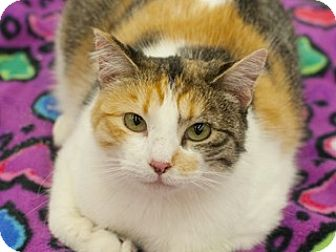 Domestic Mediumhair Cat for adoption in Great Falls, Montana - Lily