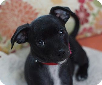 Jack Russell Terrier/Chihuahua Mix Puppy for adoption in Holly Springs, North Carolina - Knotgrass