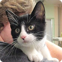 Domestic Shorthair Kitten for adoption in Reeds Spring, Missouri - Estelle