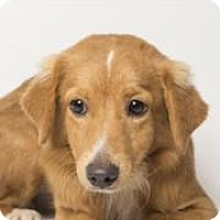 Adopt A Pet :: Cherry - Rowayton, CT
