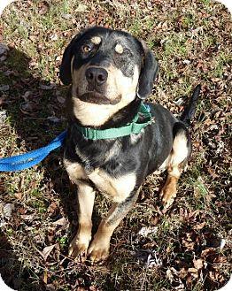 Labrador Retriever Mix Dog for adoption in Ashland, Virginia - Brody-ADOPTED!!!