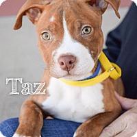 Adopt A Pet :: Taz - DFW, TX