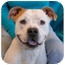 Photo 1 - English Bulldog/Pit Bull Terrier Mix Dog for adoption in Las Vegas, Nevada - Rod