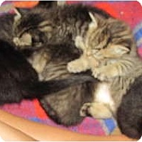 Adopt A Pet :: Seven Kitten litter - Oxford, CT