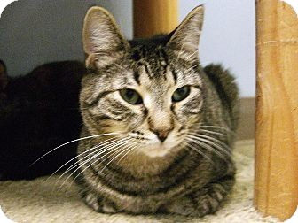 American Shorthair Cat for adoption in Jupiter, Florida - Andy