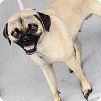Adopt A Pet :: Barney - 99.9% pug! - Phoenix, AZ