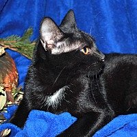 Domestic Shorthair Cat for adoption in Laingsburg, Michigan - Booker