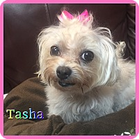 Adopt A Pet :: Tasha - Hollywood, FL