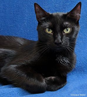 Domestic Shorthair Cat for adoption in St Louis, Missouri - Hadley
