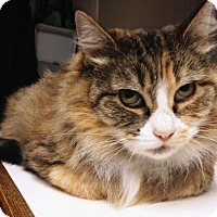 Domestic Shorthair Cat for adoption in Springfield, Oregon - Reina