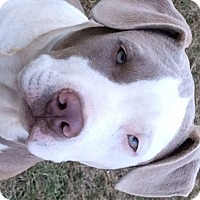 Adopt A Pet :: DIESEL - Sterling, MA