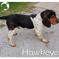 Adopt A Pet :: Hawkeye - Pittsburgh, PA