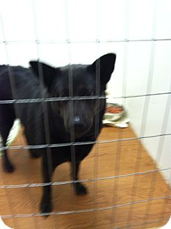 Shepherd (Unknown Type) Mix Dog for adoption in Little River, South Carolina - tasha