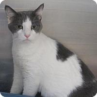 Domestic Shorthair Cat for adoption in Cocoa, Florida - Wren (Merritt Island Center)
