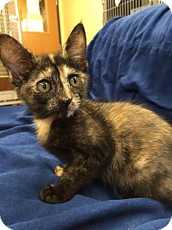 Domestic Shorthair Kitten for adoption in Maryville, Missouri - Ash