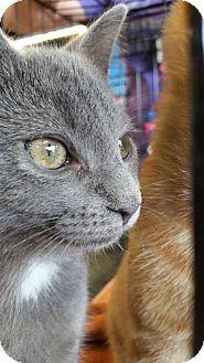 Domestic Shorthair Kitten for adoption in Burlington, North Carolina - Kika
